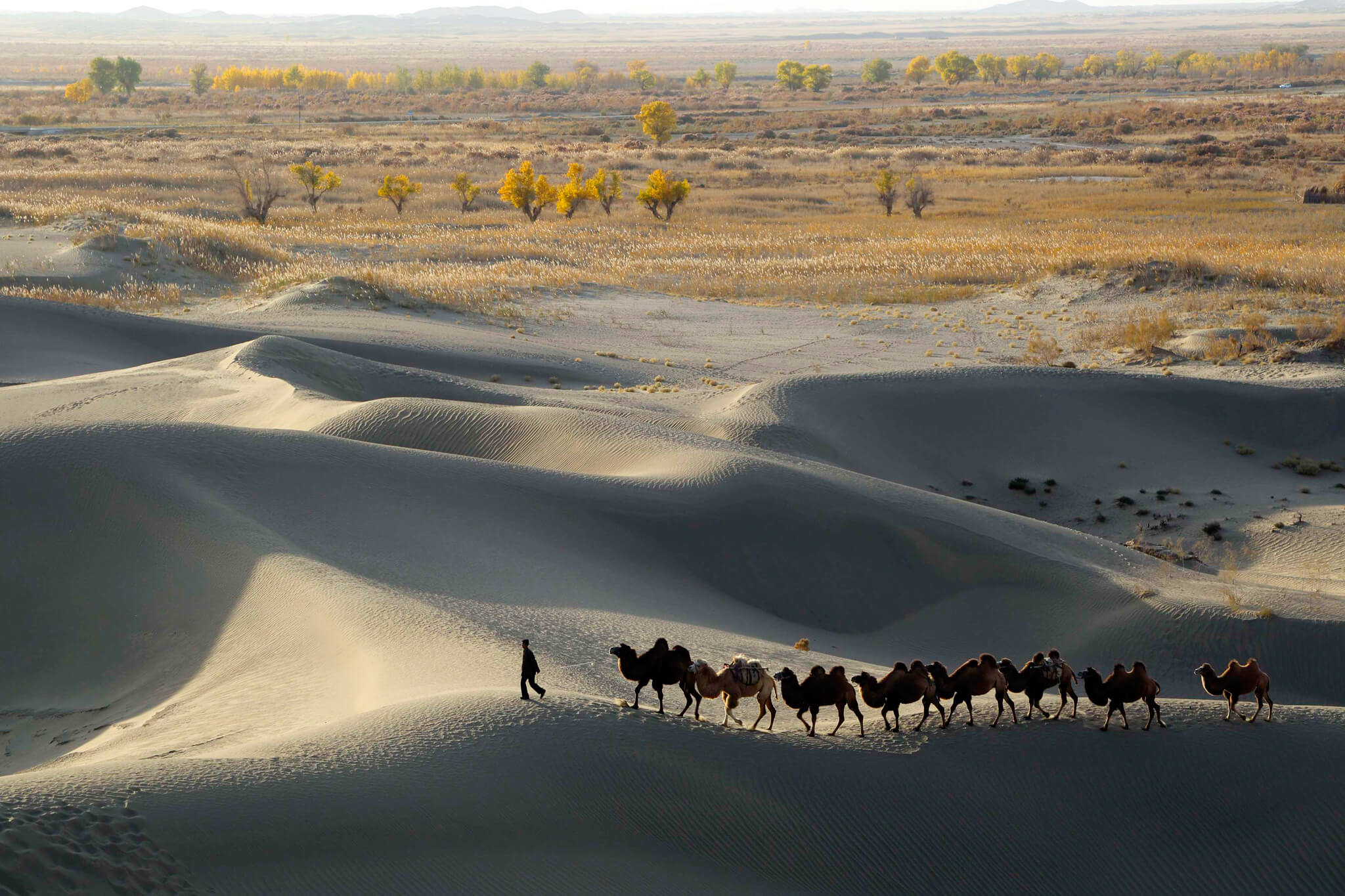 A man leads camels at the edge of the Taklamakan Desert in Xinjiang Uighur Autonomous Region, October 29, 2013. Picture taken October 29, 2013. REUTERS/China Daily (CHINA - Tags: SOCIETY ENVIRONMENT ANIMALS TPX IMAGES OF THE DAY) CHINA OUT. NO COMMERCIAL OR EDITORIAL SALES IN CHINA